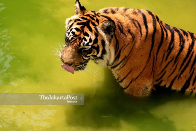 Panthera Trigis Sumatrae