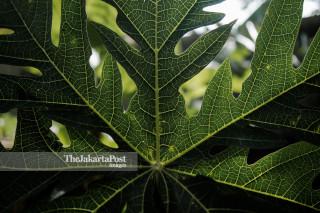 Papaya Leaves the Traditional Herbs