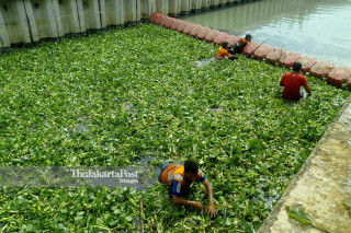 Planting water hyacinth experiment