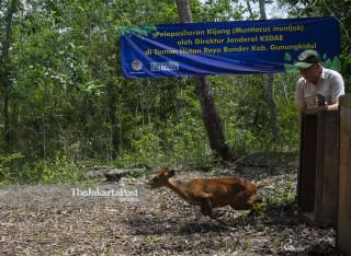 Konservasi Kijang asal Gunung Merapi
