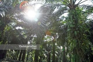 File: Perkebunan Sawit di Riau