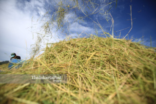 Petani merontokkan bulir padi