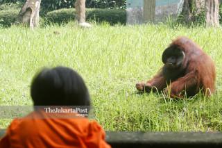 File: Orangutan kalimantan