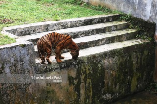 Sumatran Tiger in Medan Zoo