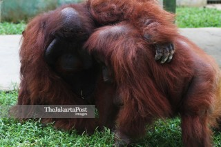 Orangutan di Kebun Binatang Medan Sumatra Utara